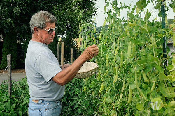 Skip Young and his urban garden picking peas.