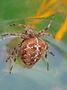 Garden Spider.<br /> <br /> Stock Photo by Paddy