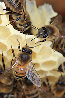 Bees on recently produced wax. The bee is the only insect that produces:constructs its own habitat. The wax is produced by the bees' wax glands that transform the honey into fat. Bees need 8 kilos of honey to produce one kilo of honey.///Des abeilles sur de la cire récemment produite. L'abeille est le seul insecte qui produit son habitat. La cire est produite par les glandes cirières des abeilles qui transforment ainsi le miel en graisse. Il faut 8 kilo de miel pour produire un kilo de cire.