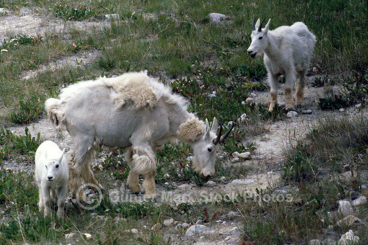 Mountain Goat Nanny and Kid (Oreamnos americanus), aka Rocky Mountain Goats, grazing at Mineral Lick, along Icefields Parkway, Jasper National Park, Alberta, Canada