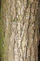 Crack-willow Salix fragilis Salicaceae Height to 25m<br /> Large, domed tree with a thick bole. Bark Grey-brown with criss-crossed ridges. Branches Basal. Shoots Reddish, brightest in spring. Leaves Long, glossy, with toothed margins. Reproductive parts Male catkins yellow and pendulous; female catkins green and pendulous; on separate trees. Status Common in damp habitats.