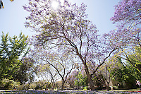 Jacaranda trees bloom on the Occidental College campus, May 29, 2013 in Los Angeles. (Photo by Marc Campos, Occidental College Photographer)