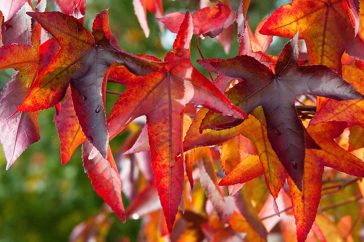 Autumn foliage of Liquidambar styraciflua 'Penwood', early November.