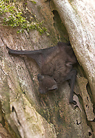 Zwergfledermaus, Zwerg-Fledermaus, Pipistrellus pipistrellus, Common pipistrelle, Pipistrelle commune