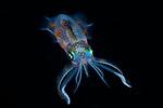 Night Squid , Sepioteuthis lessoniana, Bigfin squid, Lembeh, Indonesia 2017