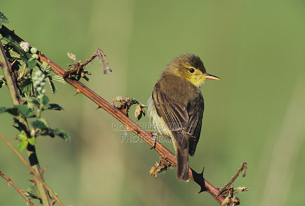 Melodious Warbler, Hippolais polyglotta,adult, Scrivia River, Italy, May 1997