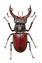Stag beetle (Lucanus cervus) male. Museum specimen originating from UK. website