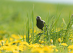 Bobolink (Dolichonyx oryzivorus) male in breeding plumage singing in field of dandelion flowers, Ithaca, NY, USA