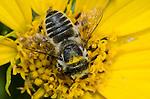 Little Leaf-cutter Bee (Megachile brevis) on Maximilian sunflower (Helianthus maximiliani), Lexington Wildlife Management Area, Oklahoma, USA