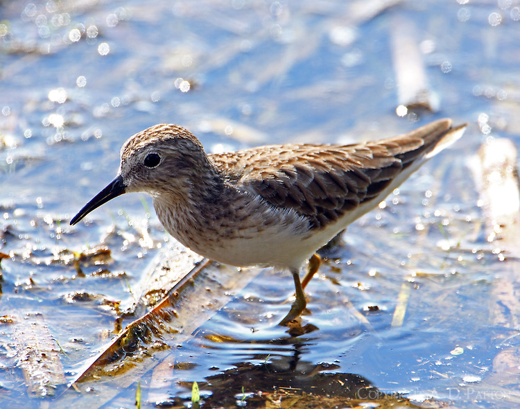 Least sandpiper in non-breeding plumage