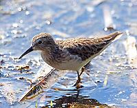Least sandpiper in non-breeding plumage
