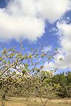 Israel, Shephelah, Pistachio tree (Pistacia vera) in Lahav forest