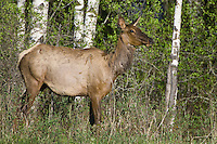 Female Elk eating along the edge of a forest