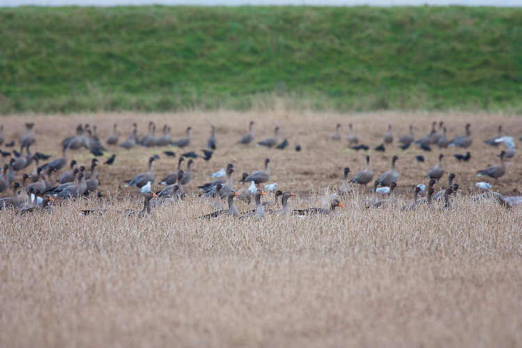 Greylag Goose (Anser anser) feeding in a cereal field, amoungst some Pink footed Geese, in a field not from from the safety of the saltmarsh. This species is the ancestor of domesticated geese in Europe and North America.