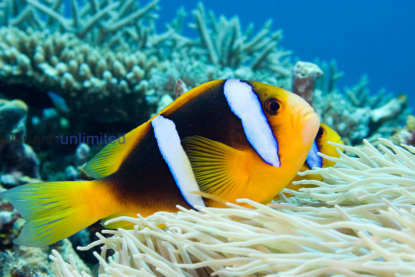 This Orange-Fin Anemonefish, (Amphiprion chrysopterus) is pictured over its host sea anemone. Fiji.