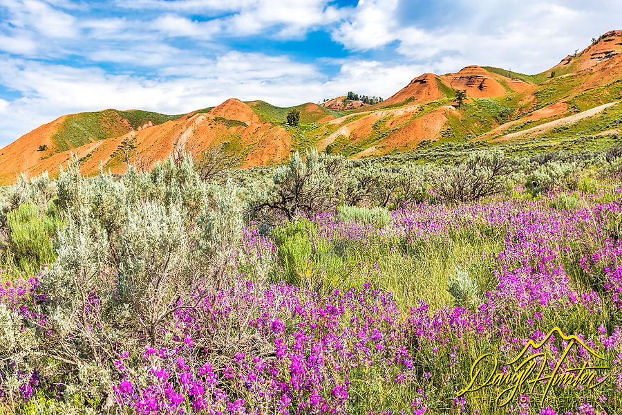 The pink wildflowers, green grass and silver sage are beautiful accents to the red hills of the Gros Venture Valley of Jackson Hole Wyoming