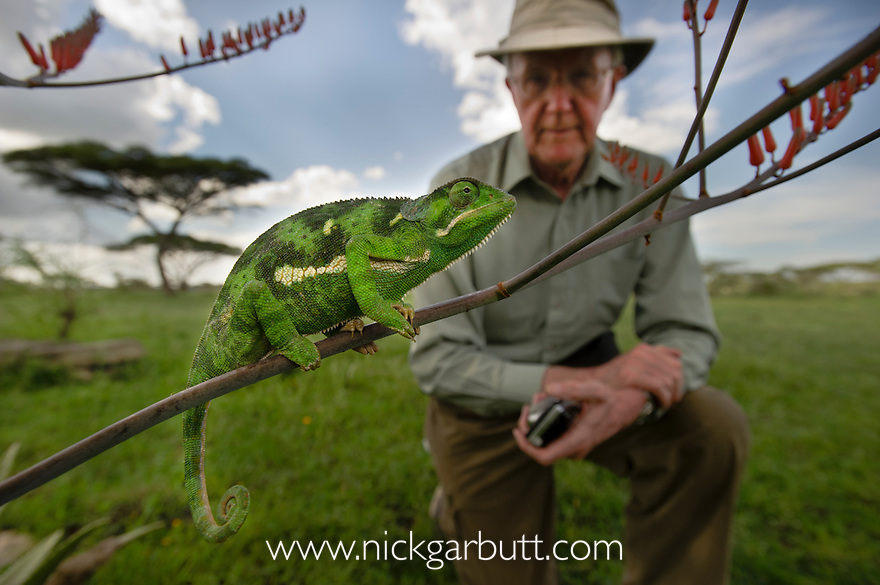 Adult Flap-necked Chameleon (Chameleo dilepis) and tourist (Dr Peter Davies). Ndutu Safari Lodge, Ngorongoro Conservation Area, Tanzania.