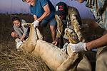 African Lion (Panthera leo) biologists, Caz Sanguinetti, Milan Vinks, veterinarian, Kambwiri Banda, and biologist, Jonah Gula, flipping six year old female lion during collaring, Kafue National Park, Zambia