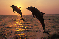Two Bottle-nosed dolphins or Common Bottlenose Dolphins leap from Pacific Ocean at sunset.