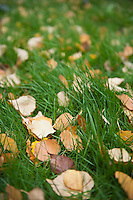 Yellow autumn leaves on lawn