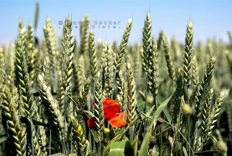 Parco Agricolo Sud Milano, Abbiatense presso Gaggiano. Grano verde e un papavero --- Rural Park South Milan near Gaggiano. Green wheat and a poppy