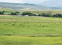 Cattle graze in Curecanti National Recreation Area near Gunnison, Colorado, Wednesday, July 10, 2015. The area is a series of three reservoirs along the once wild Gunnison River. The reservoirs that make up Curecanti today are a destination for water-based recreation high in the Rocky Mountains. <br /> <br /> Photo by Matt Nager