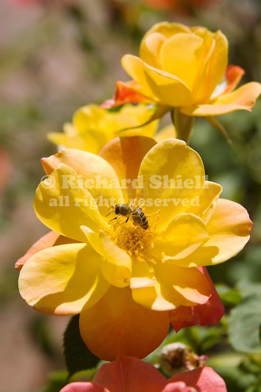 HONEY BEE ON JOSEPH'S COAT CLIMBING ROSE, APIS MELLIFERA ON ROSA HYBRID