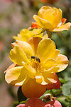 HONEY BEE ON JOSEPH'S COAT CLIMBING ROSE, APIS MELLIFERA ON ROSA HYBRID