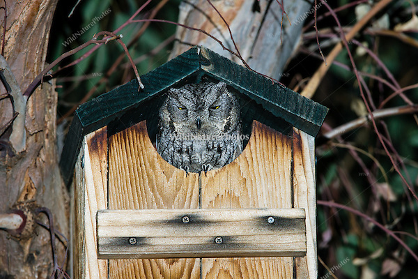 Western Screech Owl (Megascops kennicottii), Adult at Nest Box (Arizona)