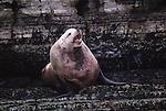 Steller sea lion bull vocalizing