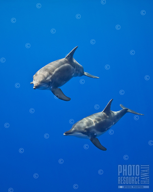 Mother and calf rough-toothed dolphins (Steno bredanensis), analyzing the photographer by using impulse-type (click-type) sonar for precise echolocation and imaging, Kona Coast, Big Island, Hawai'i
