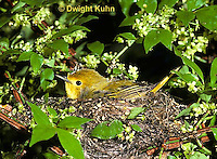 WB07-021z  Yellow Warbler sitting on nest, Dendroica petechia aestiva [aestiva group]