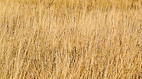 A field of tall yellow grass,