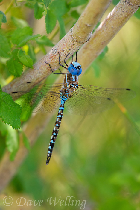 339360039 a wild male blue-eyed darner rhionaeschna multicolor perches on a tree branch along the owens river near bishop inyo county california