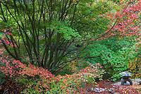 Japanese Maple trees, Acer palmatum in University of California Berkeley Botanical Garden