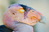 California Condor (Gymnogyps californianus) with eye shut.