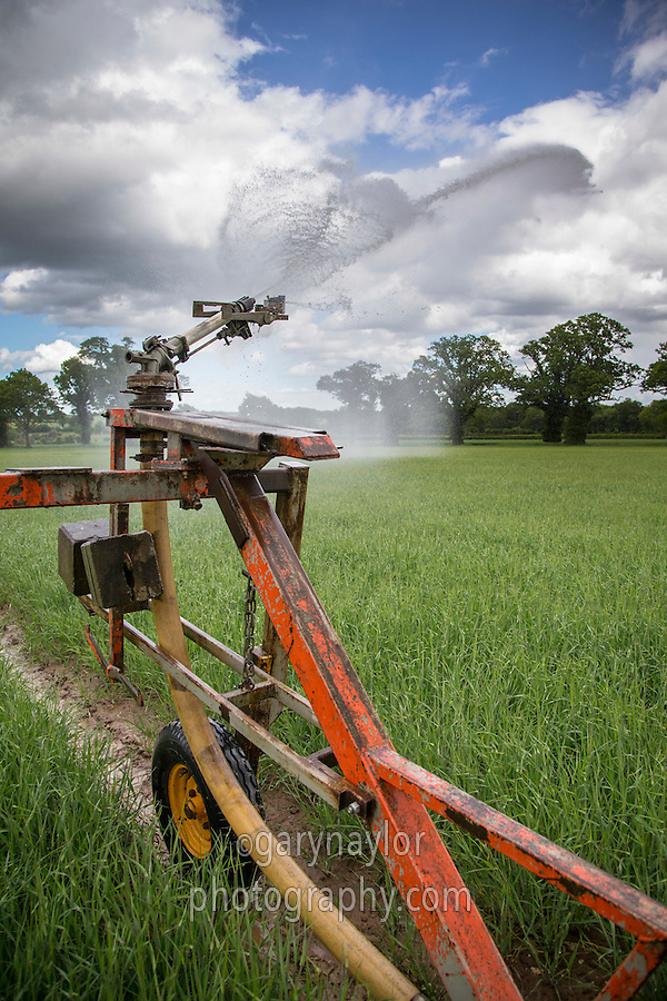 Irrigating spring barley in June with a raingun