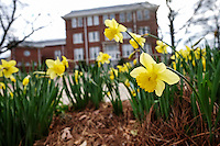 Daffodils near Lee Hall.<br />