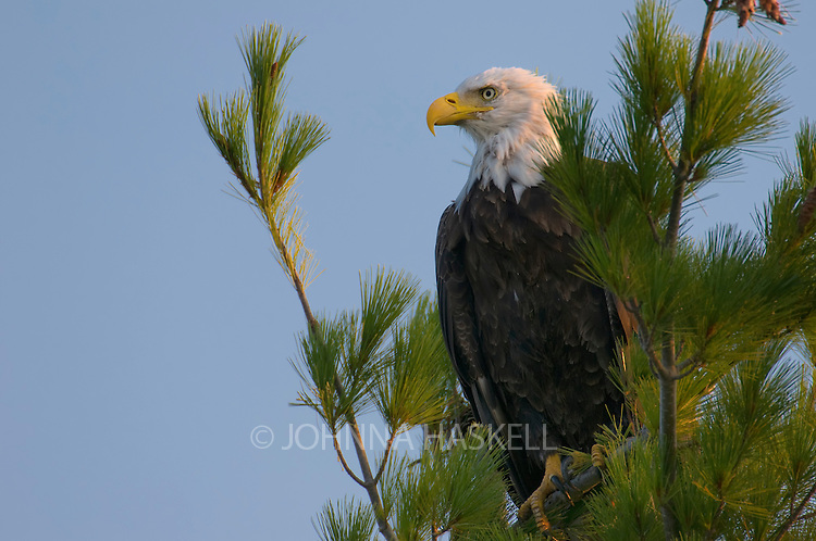 Bald eagle in pine tree in early morning light.