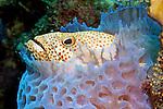 Cephalopholis cruentata, Graysby, Bonaire