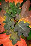 Vashon Island, Washington: A cluster of oakleaf hydrangea leaves in fall