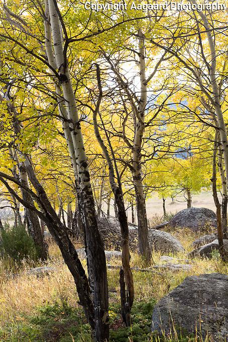 Aspen grove, Moraine Park, Rocky Mountain National Park