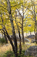 Aspen grove, Moraine Park, Rocky Mountain National Park