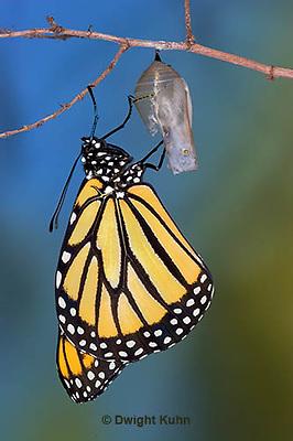 MO04-502z  Monarch emerging from chrysalis - Danaus plexipuss