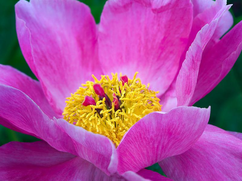 Unidentified peony flower
