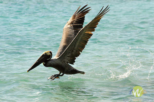 Brown pelican, Francis Bay Beach, St. John, USVI, Caribbean