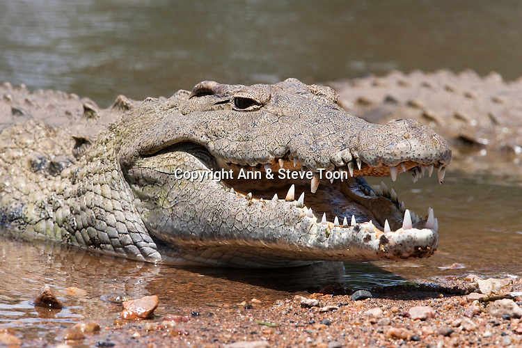 Nile crocodile, Crocodylus niloticus, jaws agape, Kruger National Park, South Africa