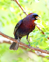 Male varied bunting