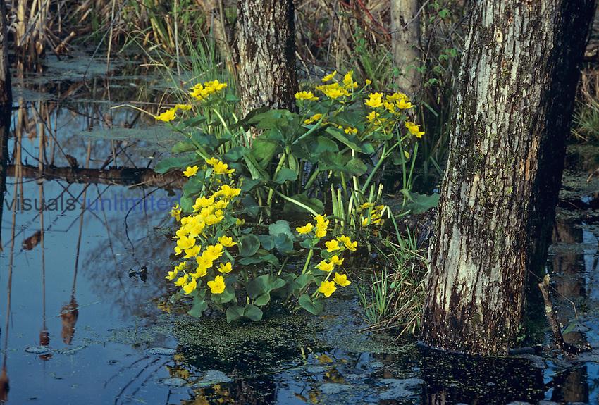 Marsh Marigold (Caltha palustris), a spring-blooming flower in marshy habitats, Eastern North America.