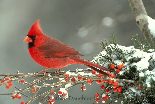 Male Northern Cardinal Richmondena cardinalis) sitting on icy branches of frozen holly  berry and snow